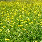 Buttercup Field by Paul Morley