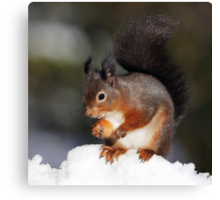 Red Squirrel in snow Canvas Print