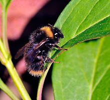 First Bumblebee Pic of 2009 in that same Peebles Garden! by photobymdavey