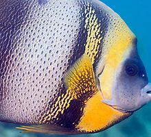 Cortez Angel Fish by Greg Amptman