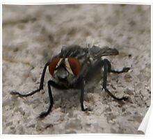 Flesh fly, Sarcophaga; La Mirada, CA USA All Rights Reserved May 2009 Hedger Photography Poster