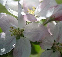 Apple Blossums by suebankert