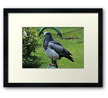 Black Chested Buzzard Eagle Near Otavalo Framed Print