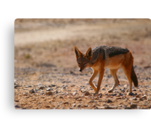 Black Back Jackal, Nambia, Africa Canvas Print