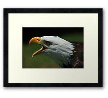 Bald Eagle Chirping Framed Print