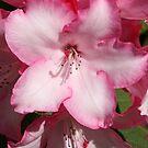 """""""Pink Rhody"""" by Lynn Bawden"""
