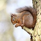 Red Squirrel Portrait by Grant Glendinning