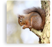 Red Squirrel Portrait Canvas Print