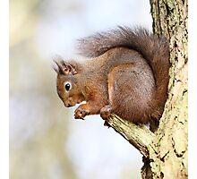 Red Squirrel Portrait Photographic Print