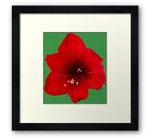 Handsome red flower Framed Print