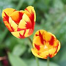 """""""Two Tone Tulips"""" by Lynn Bawden"""