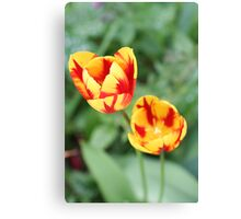 """""""Two Tone Tulips"""" Canvas Print"""