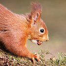 Red Squirrel on log by Grant Glendinning