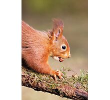 Red Squirrel on log Photographic Print