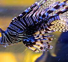 Zebra Fish - Ho Chi Minh City, Vietnam. by Tiffany Lenoir