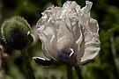 White Poppy by LudaNayvelt