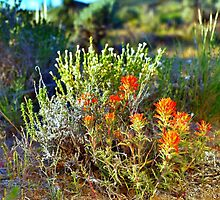 Indian Paintbrush Sunrise by SB  Sullivan