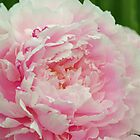 Peony by beachykeen