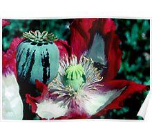Opium poppy macro Poster