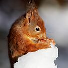 Red Squirrel with nut in snow by Grant Glendinning
