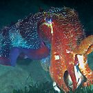 Cuttlefish by Melissa Fiene