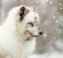 Arctic Foxin the snow by Grant Glendinning