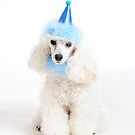 Toy Poodle in party mood by Cristina Rossi