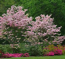 Pink Dogwoods by Karen Checca