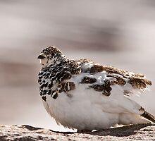 Snow Chicken by Jay Ryser
