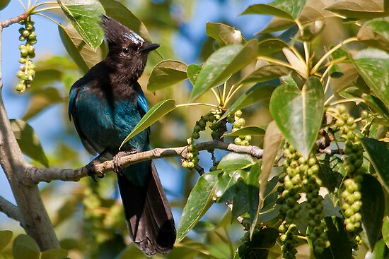 Stellar Jay 1 by David Chappell