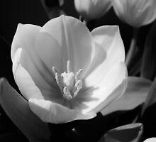Tulip by Thad Zajdowicz