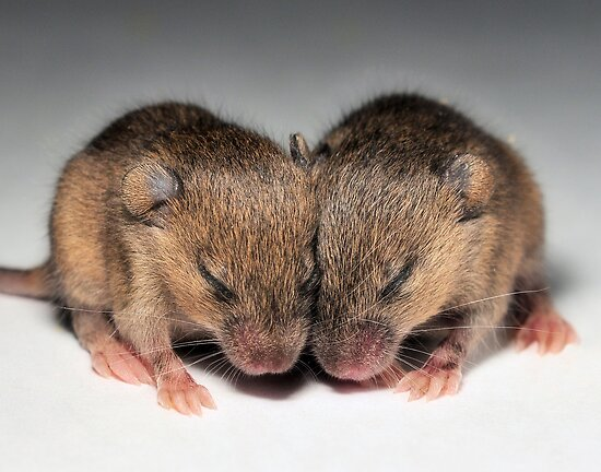 Mice Baby