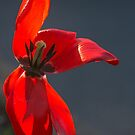 Backlit Red Tulip Past Its Best Before Date by Gerda Grice