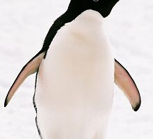 Cool Adelie Penguin