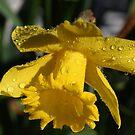 Long Trumpet Daffodil by Teresa Zieba