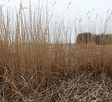 Dry reeds in the wind  by mrivserg