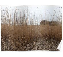 Dry reeds in the wind  Poster