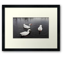 Embden domestic geese Framed Print