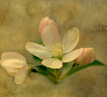 Apple Blossoms by janetlee