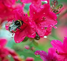 Bumble Bee on Red Azalea Flower by Nick Jenkins