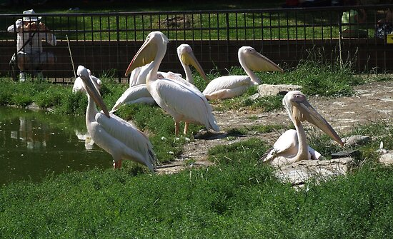 Family Of Pelican's by Marie Brown ©