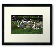 Family Of Pelican's Framed Print
