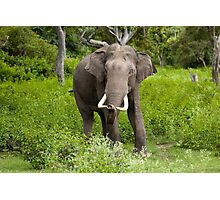 Special Indian Elephant Photographic Print