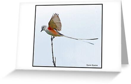 Scissor-Tailed Flycatcher by Karen Keaton
