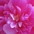 Peony ... for my beloved.... by Hans Bax