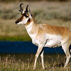 Pronghorn - Lamar Valley by Stephen Beattie