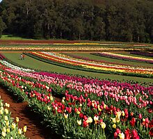 A World of Tulips by Bev Pascoe