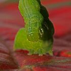 Garden worm standing on crimson persimon leaf by Rick Fin