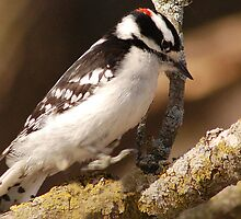 Downy Woodpecker by sundawg7
