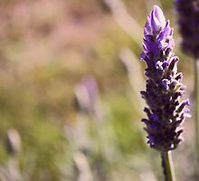 Lavendar by Susan Brown